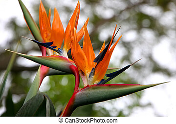 bird of paradise flower blooming in vivid colors