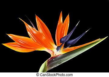 bird of paradise flower on black background