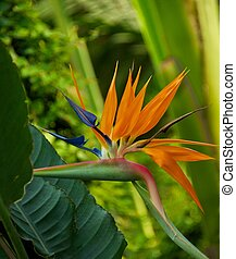 Bird of paradise flower (Strelitzia reginae)