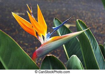 Bird-of-paradise flower (Strelitzia reginae). Beautiful...