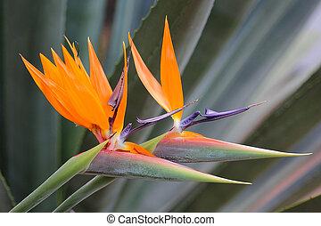 bird of paradise flower (strelitzia reginae) is a...