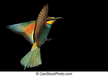 bird of paradise in flight isolated on a black background