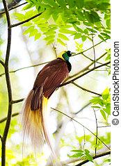 Bird Of Paradise - Lesser Bird of Paradise or Paradisaea...
