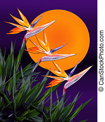 Bird of paradise sunset - Image and illustration composition...