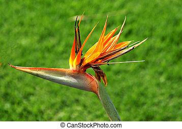 This is a flower found in South Africa. Strelitzia reginae Aiton Strelitziaceae