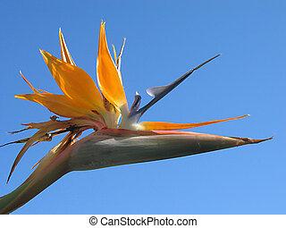 Bird of paradise with bright blue sky