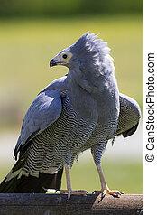 Bird of prey. African harrier hawk standing. Magnificent ...