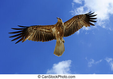 Beautiful flying bird of prey standing mid air, isolated with blue sky as background.