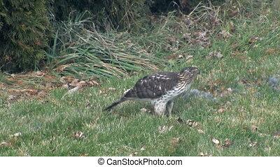 Bird of Prey Devours Catch - A Hawk eating a smaller bird...