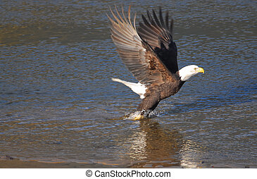 bird of prey - eagle lifting off, from the river