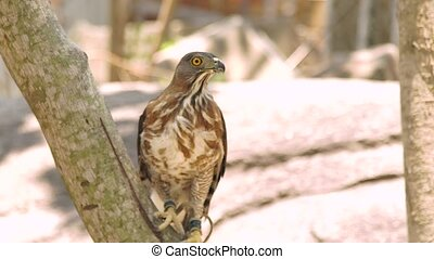 Bird of prey falcon on tree branch close up. Predatory bird...