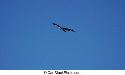 Bird of prey flying against the blue sky