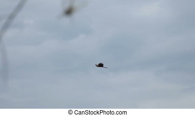 Bird of prey flying against cloudy sky - Bird of prey flying...