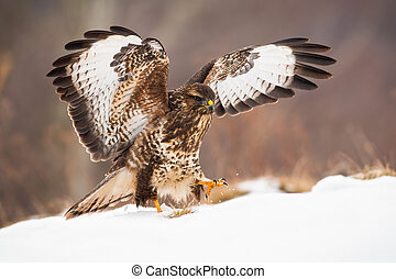 Bird of prey landing on snow covered meadow with wings wide open in wintertime