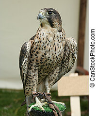 bird of prey - A bird of prey