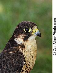 Portrait of a falcon, bird of prey.