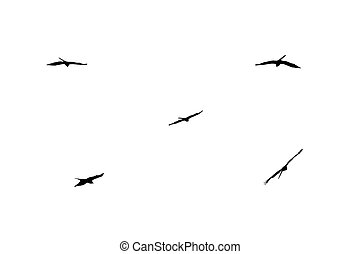 The silhouette of an isolated bird of prey in the execution of various flight maneuvers.