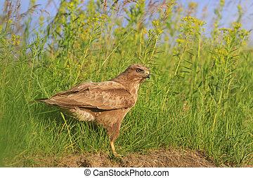 bird of prey sitting in the grass