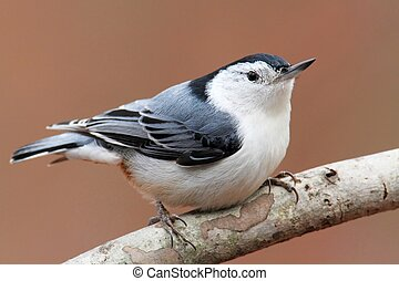 Bird On A Branch - White-breasted Nuthatch (sitta...