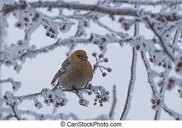 bird on a branch with frozen berries.