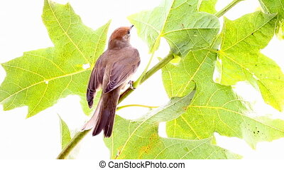 bird on a maple (Black-cap) - Black-cap, female sylvia...