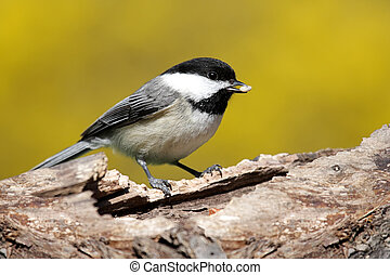 Black-capped Chickadee (poecile atricapilla) on a stump in spring with yellow forsythia bushes