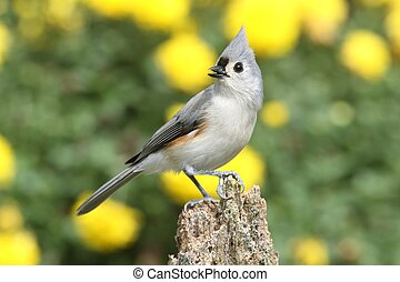 Bird On A Stump - Tufted Titmouse (baeolophus bicolor) on a...