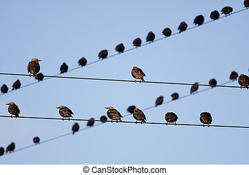 Bird on a wire - Birds on telephone lines, gathered in large...
