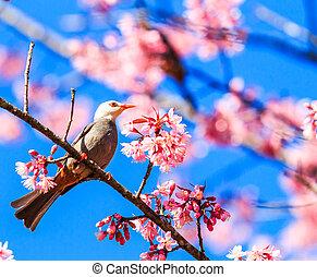 Bird on Cherry Blossom and sakura (White-headed Bulbul)