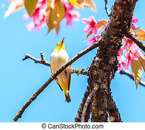 Bird on Cherry Blossom and sakura (white-eye Bird)