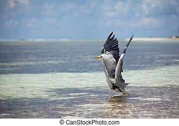 Bird on Maldives - heron on Maldives