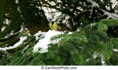 Bird on pine tree winter Great Tit Parus major