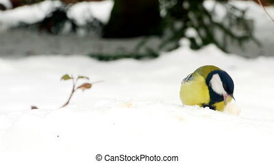 Bird on snow winter Great Tit Parus major