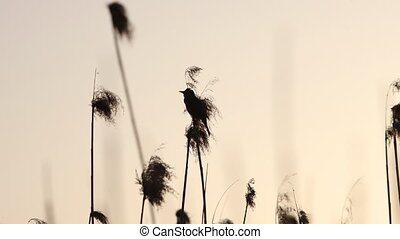 bird on the reed sings a beautiful song