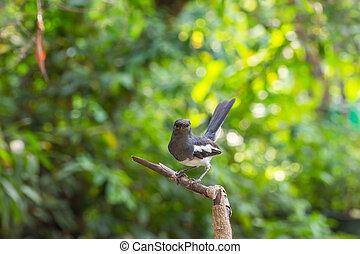 Bird (Oriental magpie-robin) on a tree