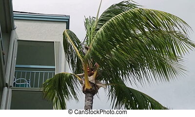 Osprey in Palm tree in Key West Florida on a windy Summer day