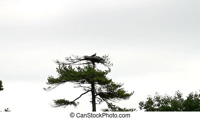 Bird Osprey Nest in Tree in Maine USA