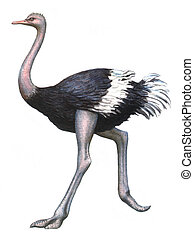 Colored drawing on the paper bird Ostrich isolated on a white background