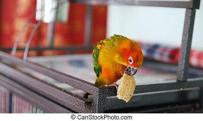 sun conure parrot eats cookies
