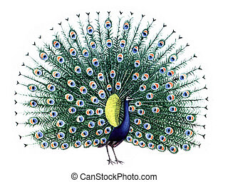 Colored drawing on the paper bird Peacock isolated on a white background