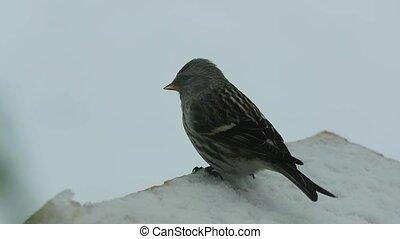 Bird pecks seeds in the bird feeder in winter. Slow motion
