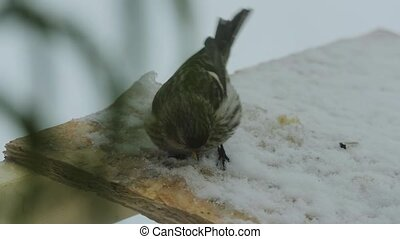 Bird pecks seeds in the bird feeder in winter. Slow motion...