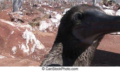 Bird pelican Flightless Cormorant Phalacrocorax harrisi on...