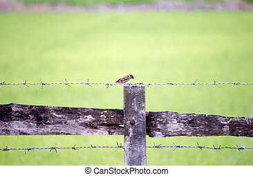 Bird perched on a wire fence, Kamphaeng Phet, Thailand.