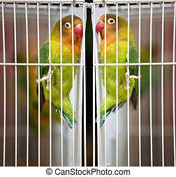Bird - Pet Lovebirds at a local pet store. The Fischer's ...