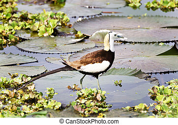 Bird (Pheasant-tailed Jacana ) on green lotus