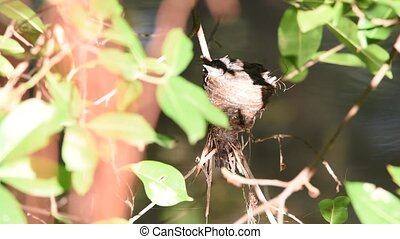 Bird (Pied Fantail Flycatcher) and baby in nest