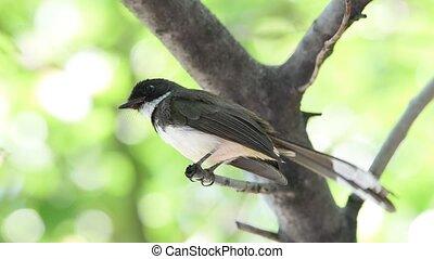 Bird (Pied Fantail Flycatcher) on a tree