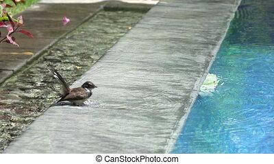 Bird (Pied Fantail Flycatcher, Rhipidura javanica) black...