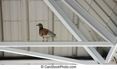 Bird Pigeon under roof - Bird Pigeon perched under roof beam